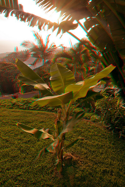 3D image of young apple banana trees in our front yard, Kona Hawaii