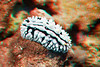 fried egg nudibranch in 3D, Hawaii