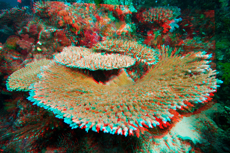 3D image of table coral, Acropora clathrata, Somosomo Strait, Fiji, South Pacific Ocean