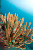 """3D image of trumpetfish  or """"nu'nu"""" (H), Aulostomus chinensis, taking refuge in antler coral, Kona, Hawaii ( Central Pacific Ocean )"""