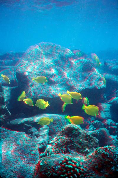 Yellow tangs at Ho'okena Hawaii