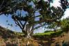 3D image of tree near golf course at Mauna Kea Resort, Hawaii