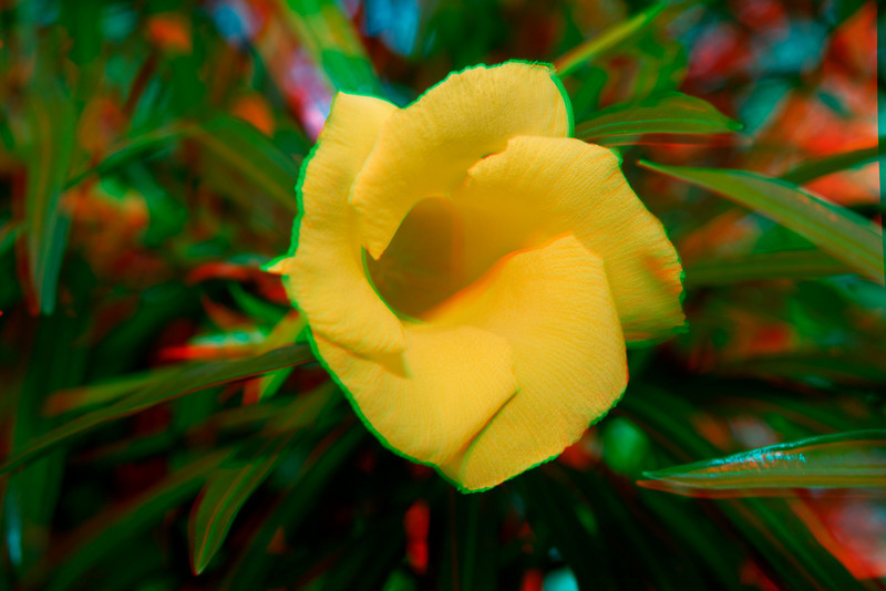 3D image of the be-still tree, Cascabela thevetia, Kawaihae, Hawaii