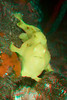 3D image of Commerson's frogfish, Antennarius commersoni, Big Island of Hawaii ( Central Pacific Ocean )