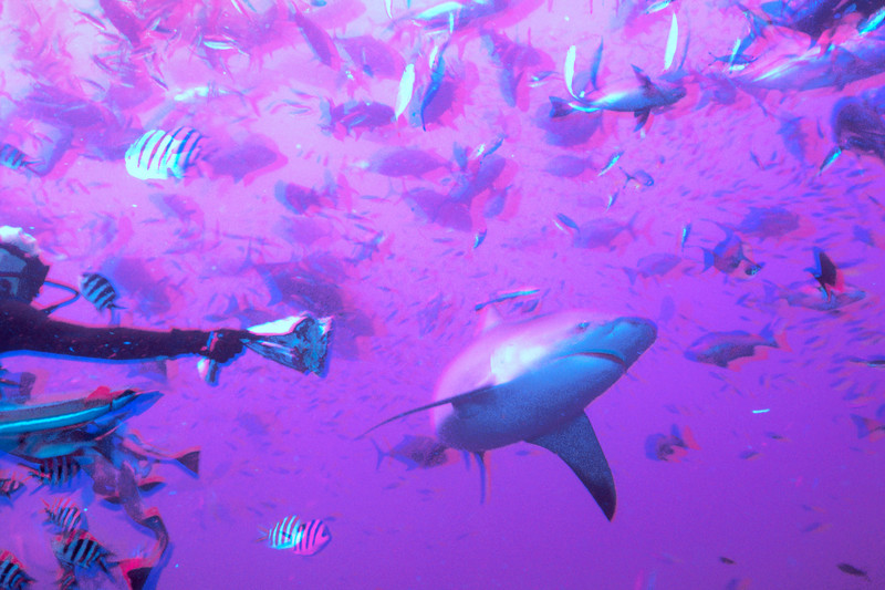 Shark feeding in 3D, bull shark is hand fed by shark feeder, Fiji