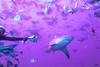 Shark feeding in 3D, bull shark is hand fed by shark feeder, Fiji