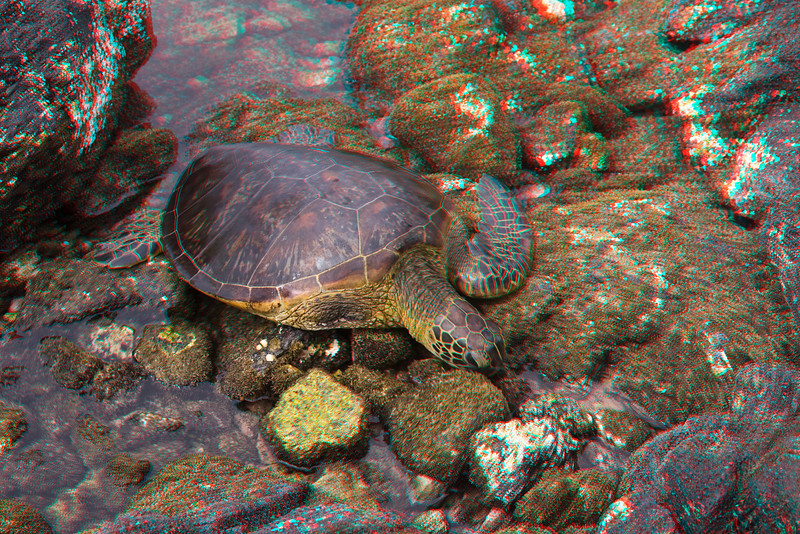 3D image of green sea turtle or honu (H), Chelonia mydas, an endangered pecies. This individual, #633, had been the unfortunate victim of fishing line tangled on it's right fore flipper. The limb had to be amputated andafter rehabilitation it was released back into the wild.  Hawaii ( Central Pacific Ocean )