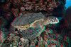 3D image of green sea turtle or honu (H), Chelonia mydas, an endangered pecies, Hawaii ( Central Pacific Ocean )