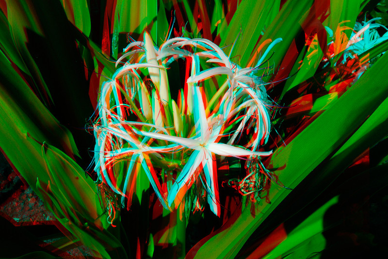 3D image of a spider lily.