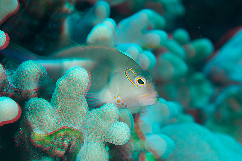 3D image of arc-eye hawkfish or piliko'a (H), Paracirrhites arcatus, Big Island of Hawaii ( Central Pacific Ocean )