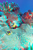 3D image of orangefin anemonefish, Amphiprion chrysopterus, Somosomo Strait, Fiji, South Pacific Ocean