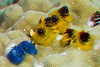 3D image of Christmastree worms in lobe coral