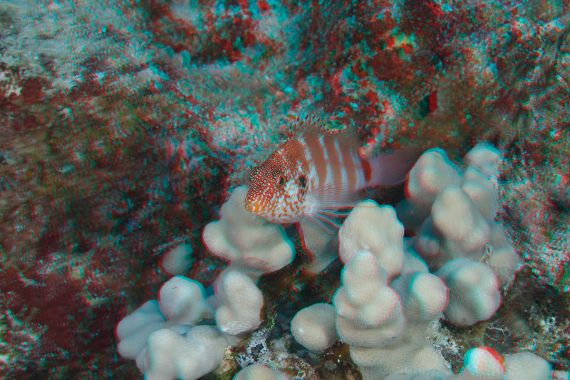 3D image of red-banded hawkfish or pili-ko'a (H), Cirrhitops fasciatus, Big Island of Hawaii ( Central Pacific Ocean )