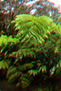 Hapu'u fern in 3D, Hawaii