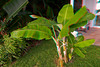 3D image of young apple banana trees in our front yard, Kona, Hawaii