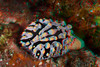 3d Image of fried egg nudibranch, Phillidia verucosa, Hawaii ( Central Pacific Ocean )