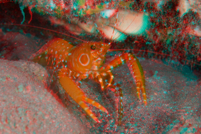 3D image of bullseye reef lobster, Hoplometopus holthuisi, Kona, Hawaii ( Central Pacific Ocean )