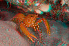 3D image of bullseye reef lobster, Hoplometopus holthuisi, Kona, Hawaii ( Central Pacific Ocean )