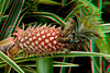 3D image of pineapple