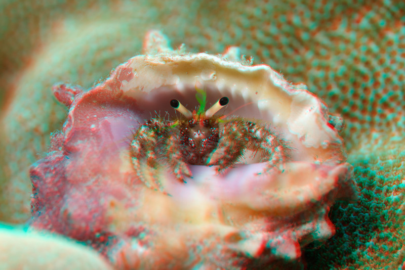 3D image of bloody hermit crab, Dardanus sanguinocarpus, Big Island of Hawaii ( Central Pacific Ocean )