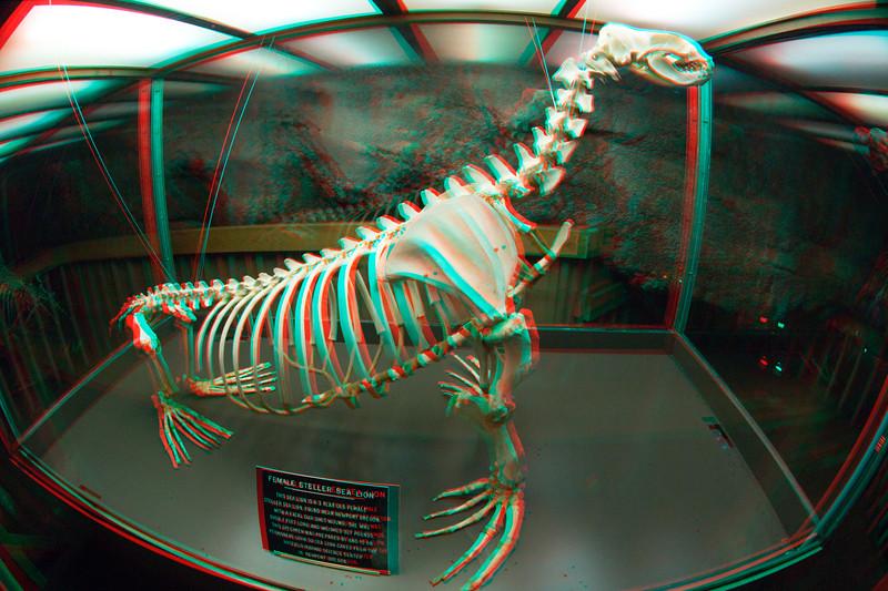 Stellar sea lion skeleton in 3D, Oregon