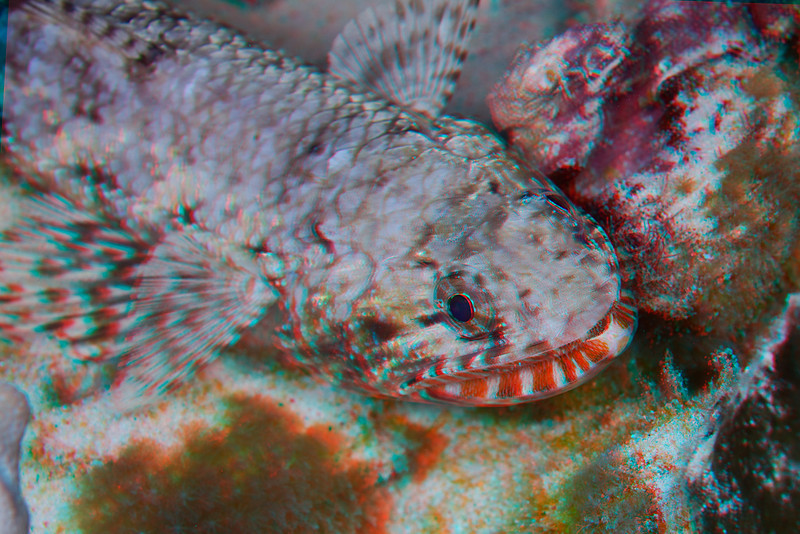 3D image of orangemouth lizardfish or 'ulae (H), Saurida flamma, Hawaii ( Central Pacific Ocean )