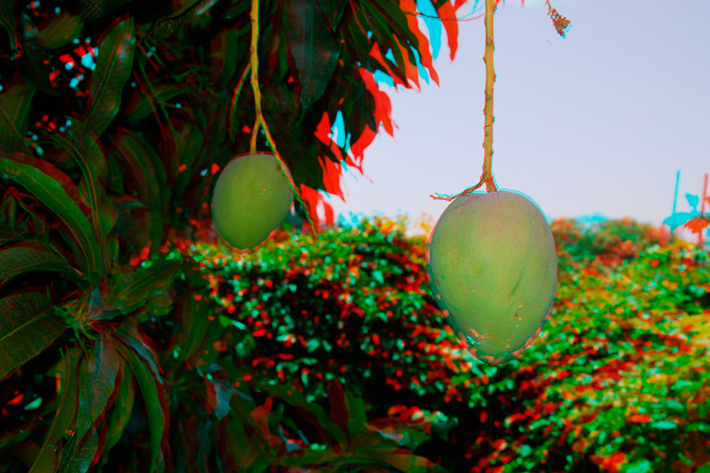 Mangos in 3D, Hawaii