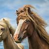 Jede Fraser   Icelandic horses