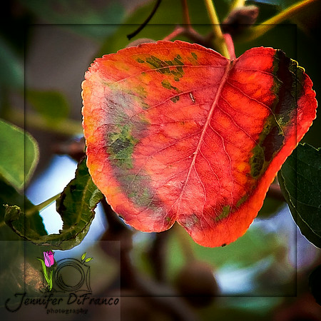 October 6, 2008 - Bradford Pear<br /> <br /> Finally I found 3 leaves on one tree that have started to change color.