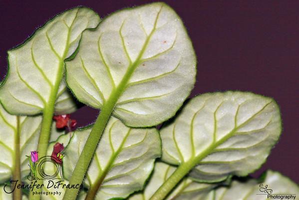 Jan. 25, 2008<br /> <br /> African Violet leaves.