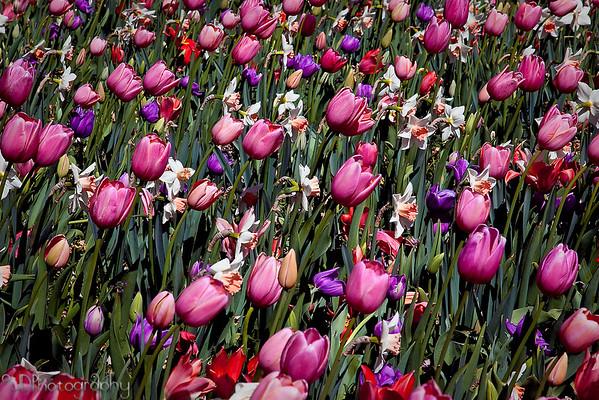 March 9, 2009  Dallas Blooms at the Dallas Arboretum