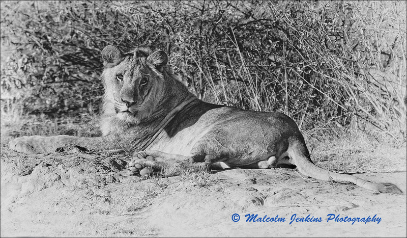 Marataba Revisited - Male Lion