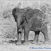 Madikwe Revisited - A Misbehaving Baby Elephant