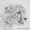 Serengeti Revisited - Cheetah