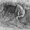 Madikwe Revisited - Male Lion on the Prowl