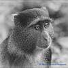 Lake Mannyara Revisited - Reflecting: A Blue Monkey