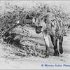 Madikwe Revisited - Hyena
