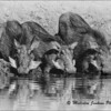 Madikwe Revisited - Three Thirsty Little Warthogs