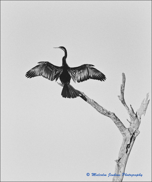 Marataba Revisited - Reed Cormorant
