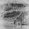 Marataba Revisited - Lion Drinking