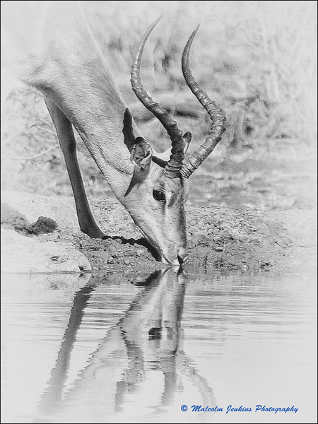 Madikwe Revisited - Impala Drinking