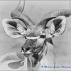 Madikwe Revisited - A Kudu