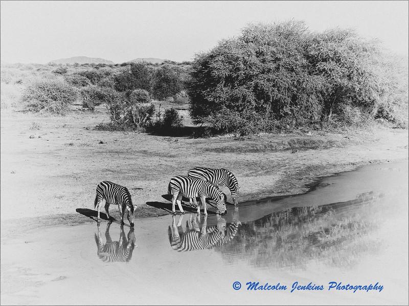 Madikwe Revisited - Zebras Drinking