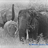 Tarangire Revisited - Elephants Eating