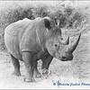 Marataba Revisited - Rhino In The Way