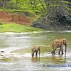 Wandering Elephants