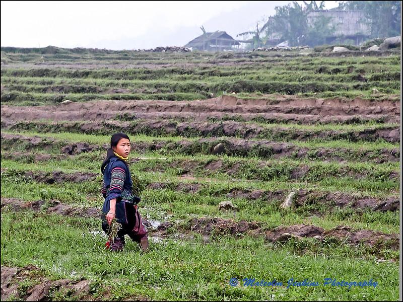 The Rice Planter