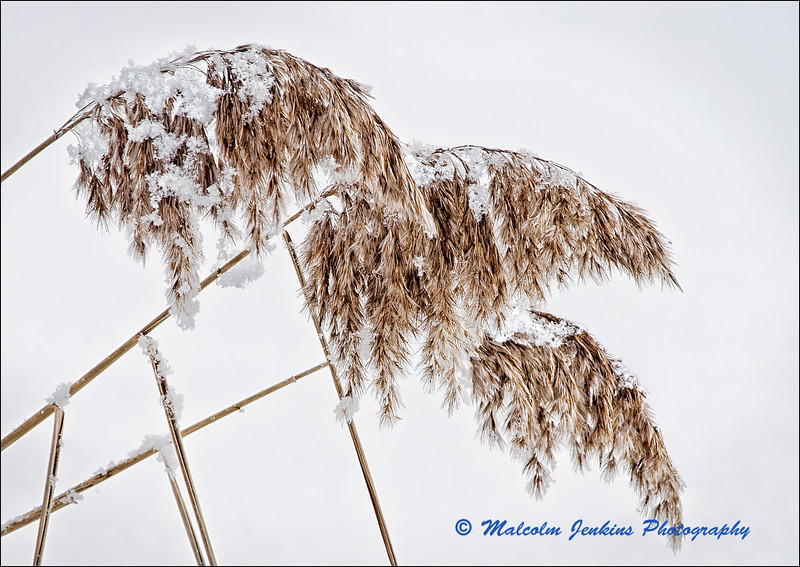 Winter Reeds