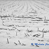 Field of Stubble in the Winter Snow