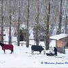 Horses in the Snow (2) / Les Chevaux dans la Neige (2)